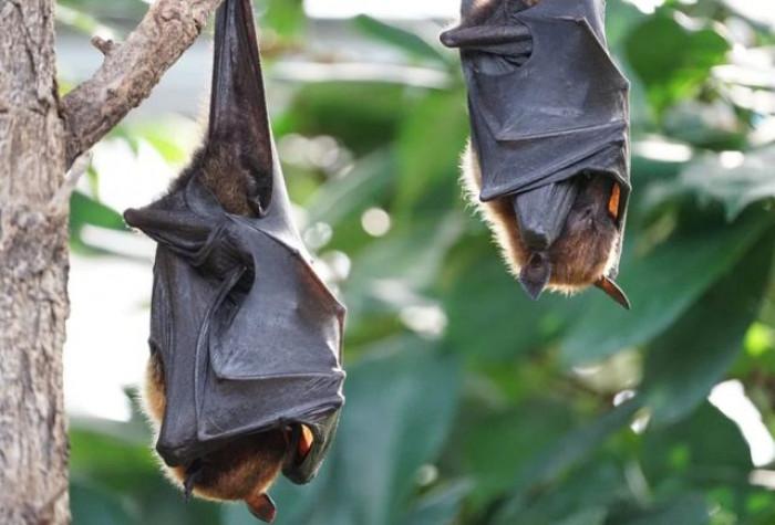 Origine Covid, nuova pista: il piano degli scienziati di Wuhan per infettare pipistrelli con virus potenziato